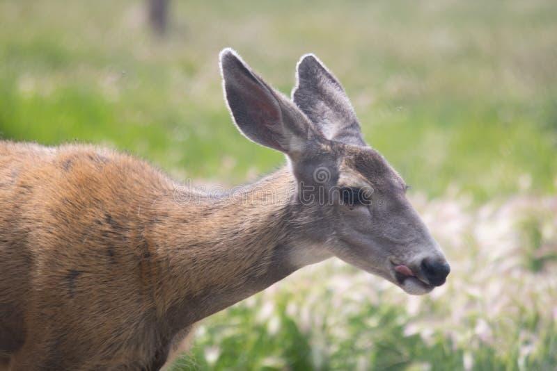 Il cervo mulo attacca la sua lingua fuori fotografia stock