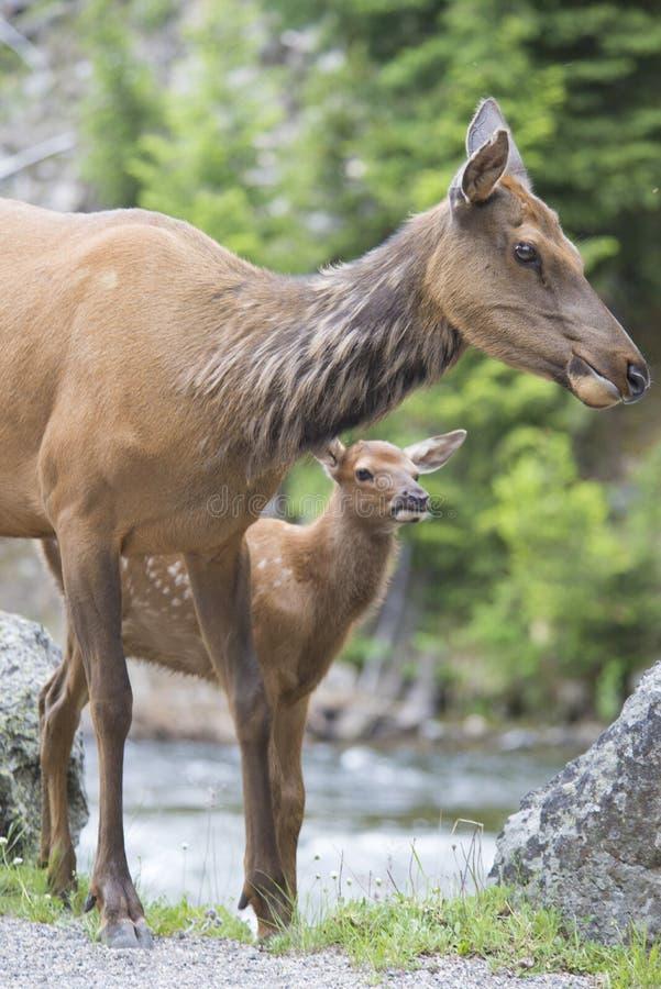 Il cervo mulo del bambino sbircia intorno alla sua mamma. immagine stock