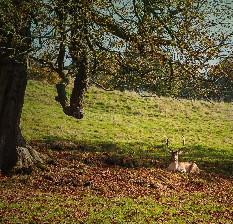 Il cervo sta riposando dopo la lotta fotografia stock