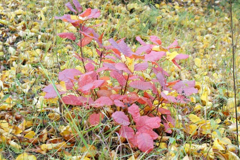 Il cespuglio di autunno con rosso va su un fondo delle foglie cadute gialle fotografia stock