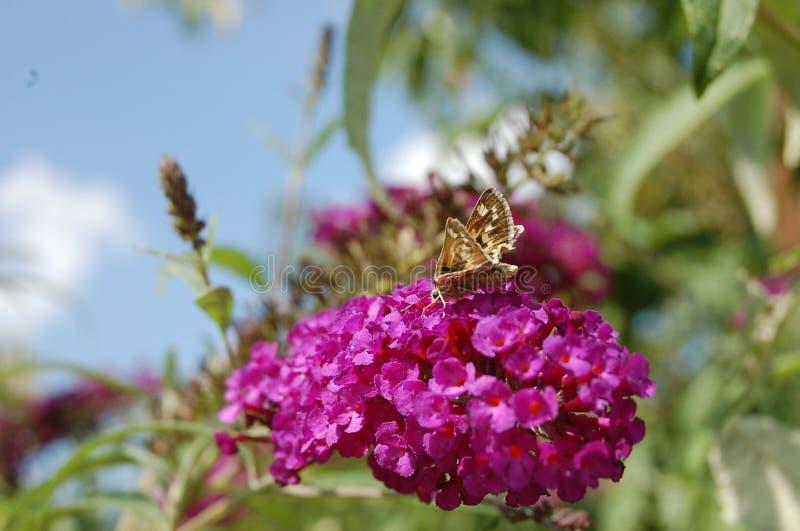 Il cespuglio di farfalla rosa con un piccolo lepidottero gradisce la farfalla fotografie stock