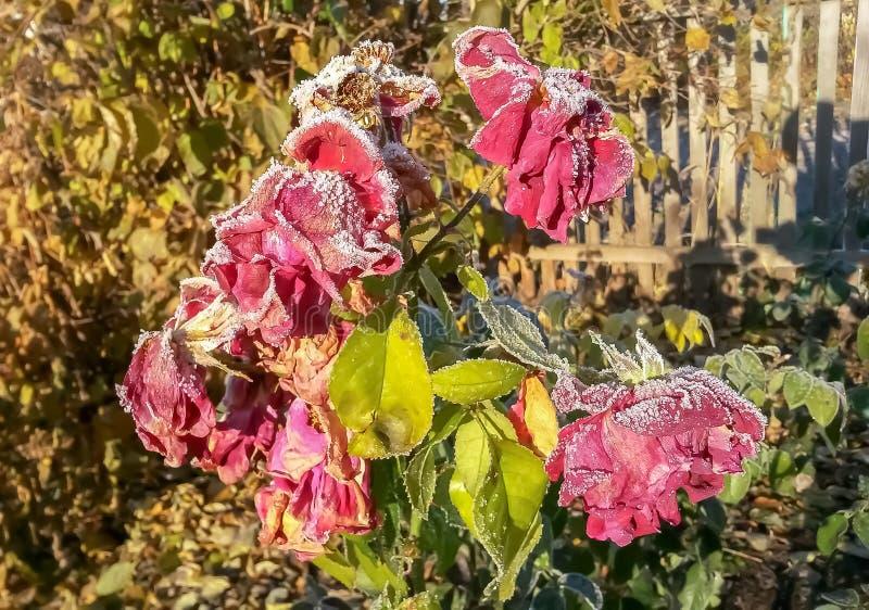 Il cespuglio di rose coperto di neve di gelo di autunno è aumentato fotografia stock libera da diritti
