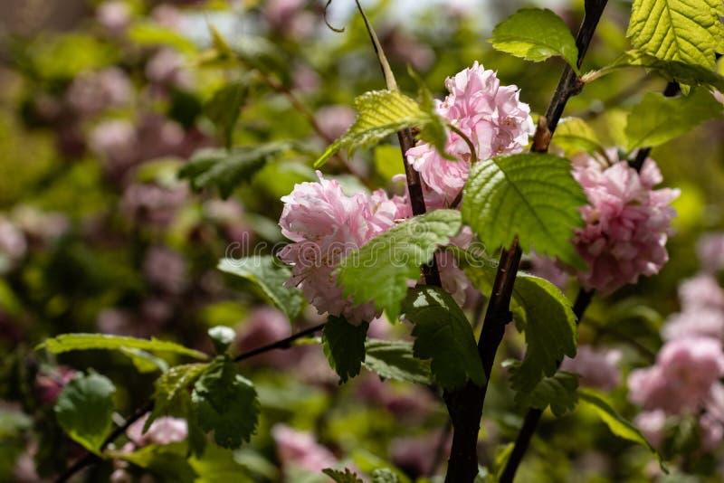 il cespuglio fiorisce il colore rosa fotografia stock libera da diritti