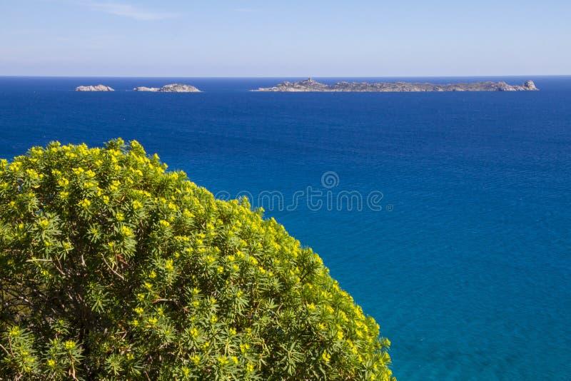 Il cespuglio rotondo dei fiori gialli Mediterranei tipici sta fuori contro il blu del mare sardo fotografie stock libere da diritti