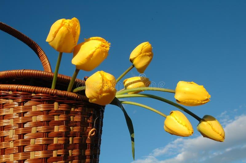 Il cestino con i tulipani gialli. fotografia stock libera da diritti