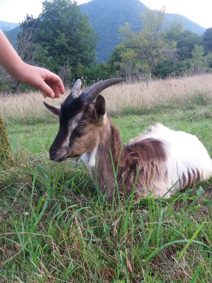 Il chèvre dans le domaine photos libres de droits