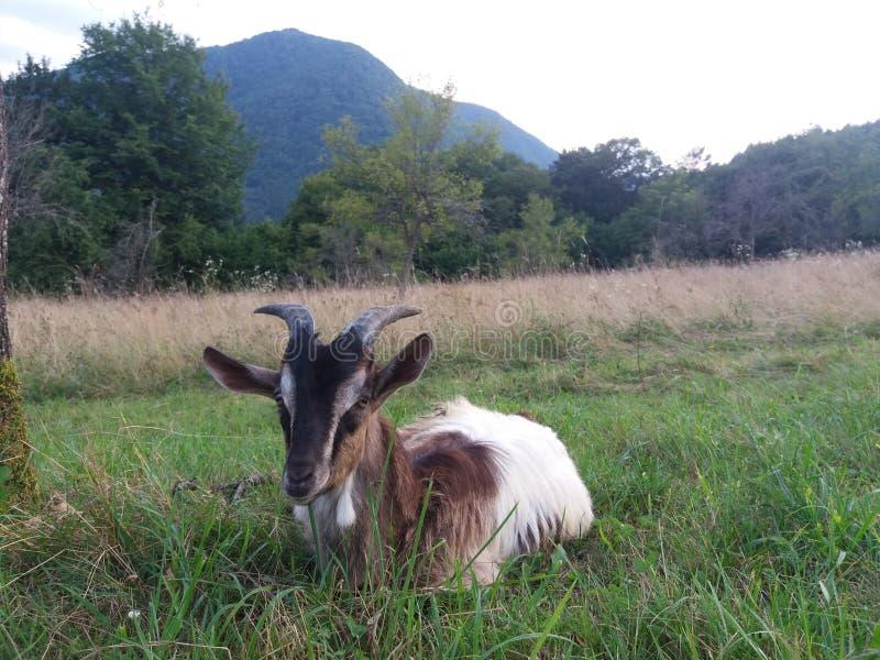 Il chèvre dans le domaine photographie stock