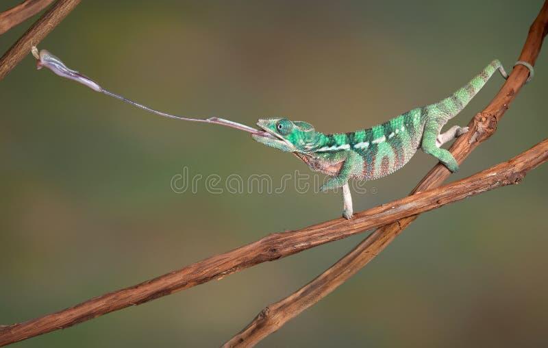 Il Chameleon spara fuori la linguetta immagini stock libere da diritti