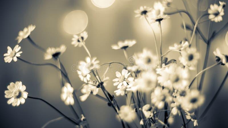 il chamomilla della camomilla fiorisce il vettore di matricaria dell'illustrazione fotografia stock libera da diritti