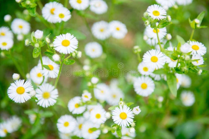 il chamomilla della camomilla fiorisce il vettore di matricaria dell'illustrazione fotografia stock