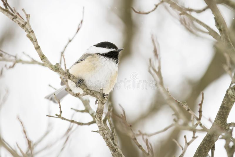 Il Chickadee Nero-ricoperto si è appollaiato su un ramo nell'inverno immagini stock