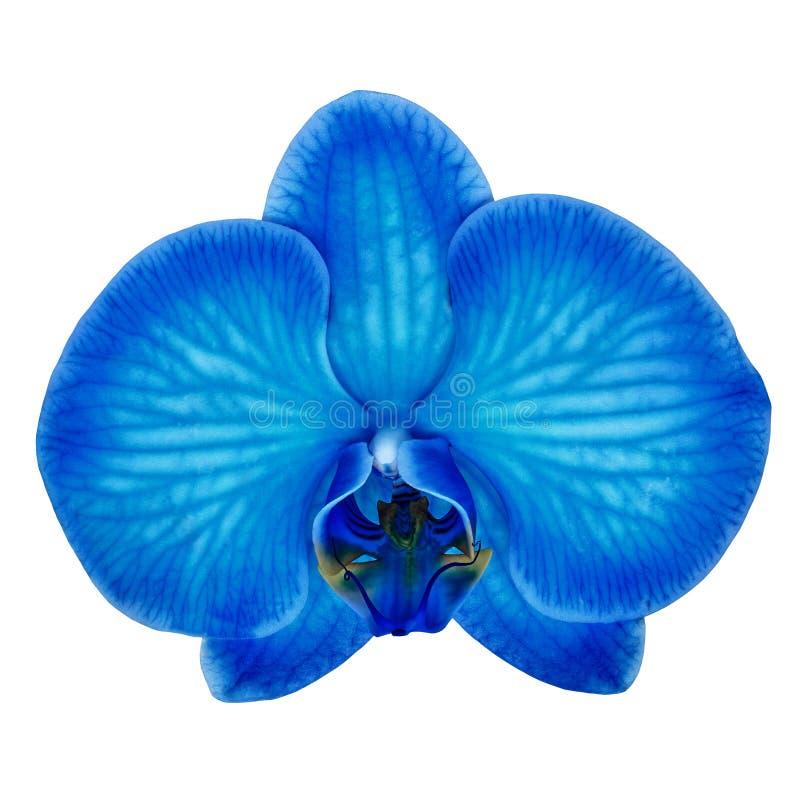 Il ciano fiore blu dell'orchidea ha isolato il fondo bianco con il percorso di ritaglio Primo piano del germoglio di fiore fotografia stock