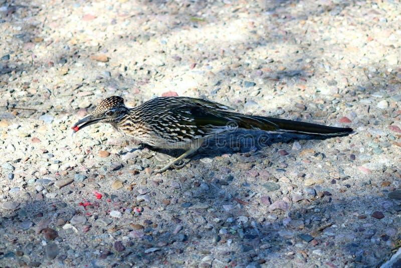 Il cibo dei semi rossi nel canyon di sabino è un roadrunner immagine stock