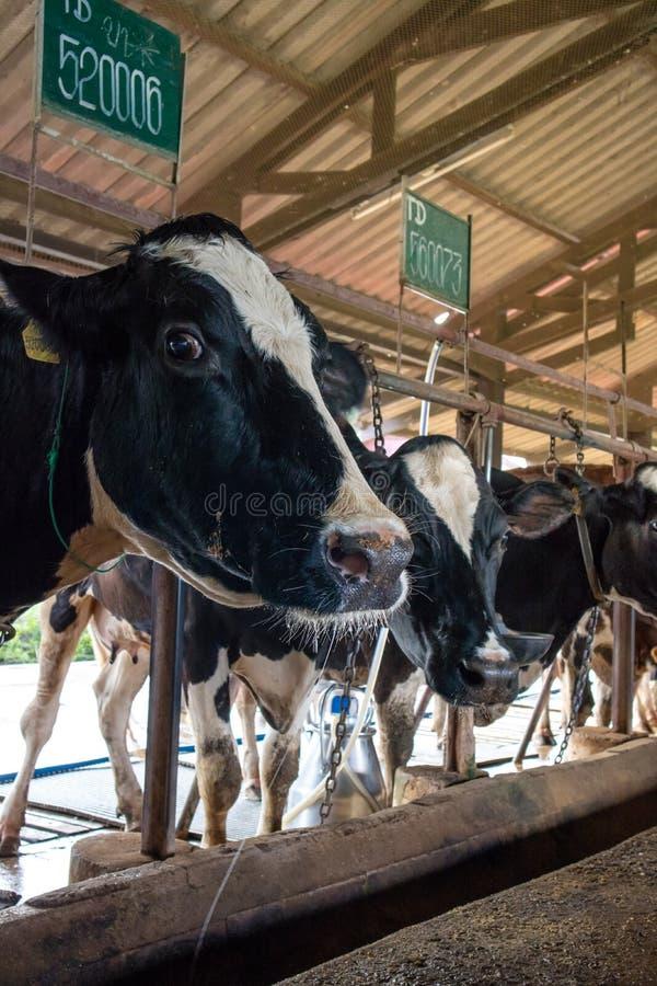 Il ciclo congiunturale di agricoltura delle mucche da latte fotografia stock libera da diritti