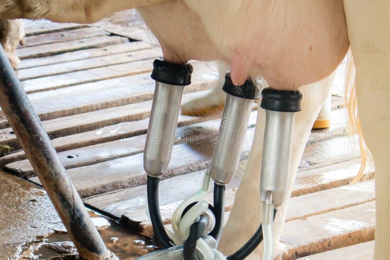 Il ciclo congiunturale di agricoltura delle mucche da latte immagini stock libere da diritti
