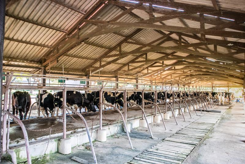 Il ciclo congiunturale di agricoltura delle mucche da latte fotografia stock
