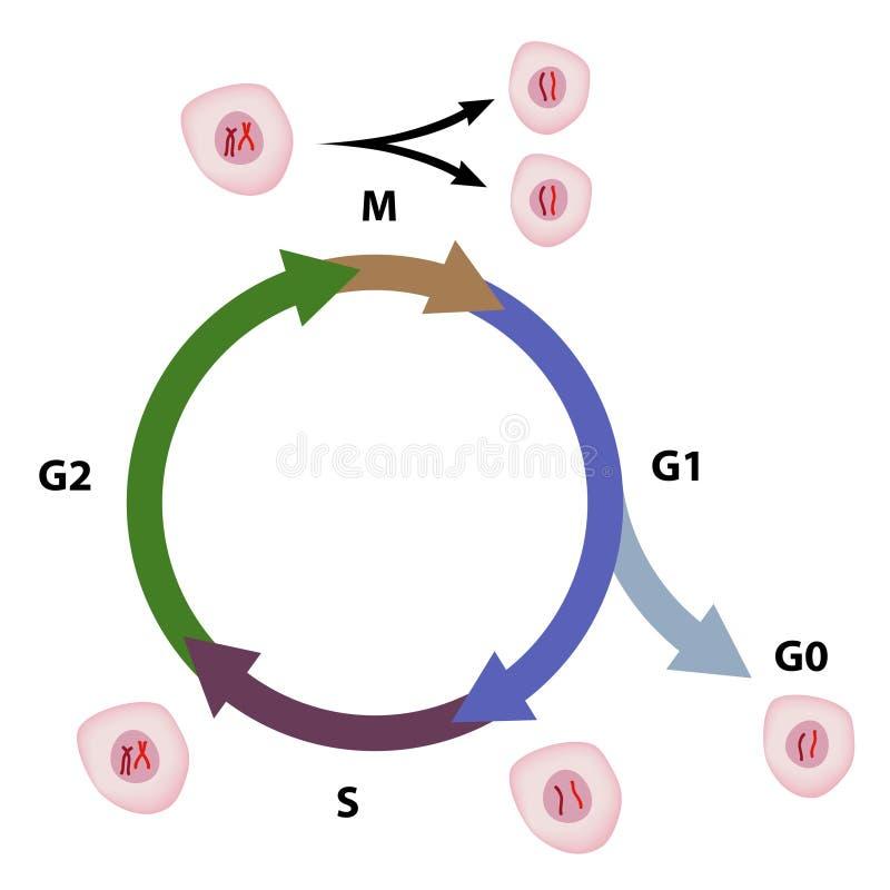 Il ciclo delle cellule illustrazione di stock