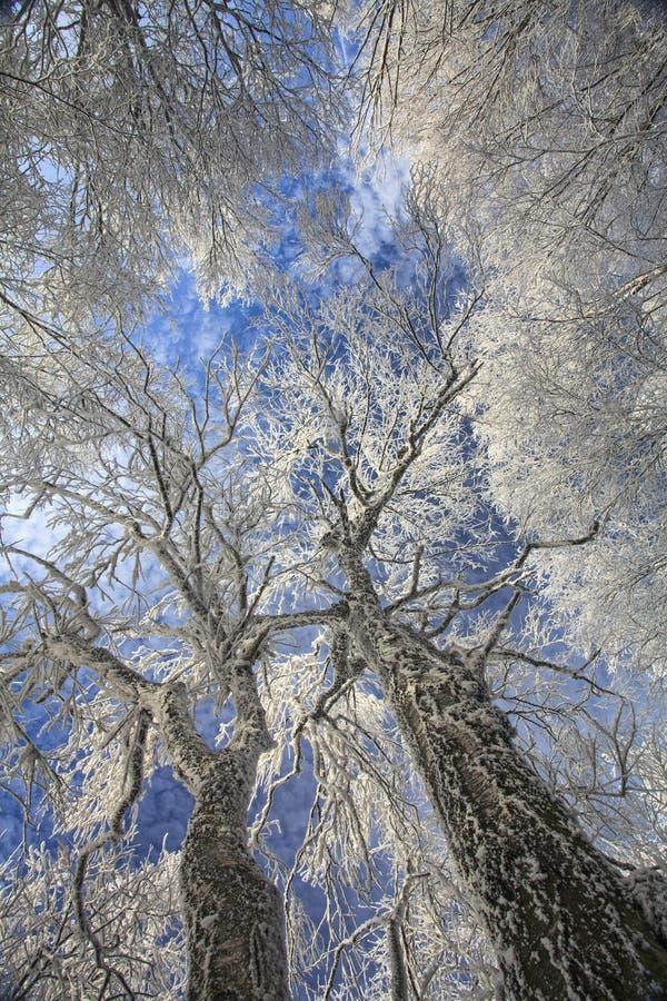 Il cielo blu dietro i rami degli alberi di inverno fotografia stock libera da diritti