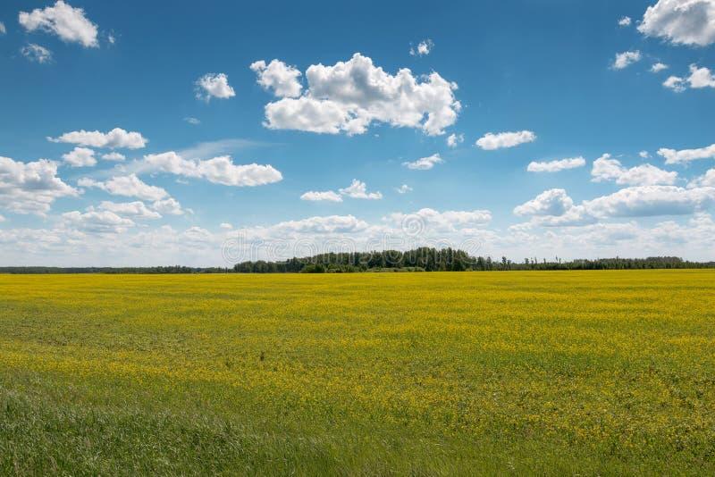Il cielo con si rannuvola un settore coperto di fiori gialli immagini stock libere da diritti
