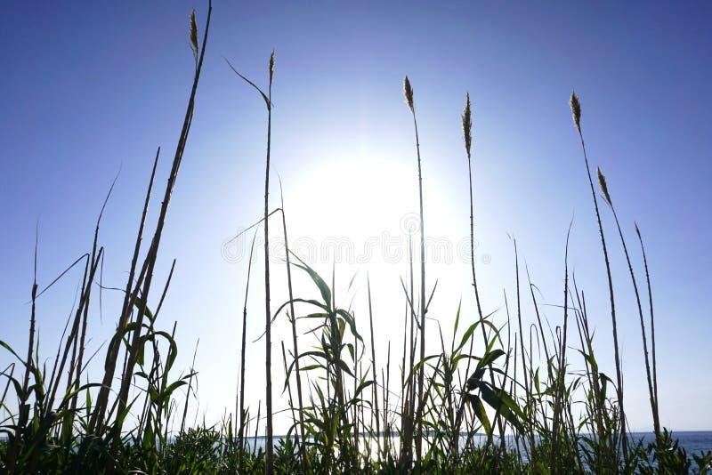 Il cielo ed il mare nel colore del blu reale ed i raggi di grande sole attraversano la grande erba a lamella Bella priorità bassa fotografia stock libera da diritti
