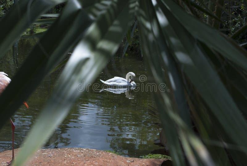 Il cigno bianco nuota lungo il lago immagini stock libere da diritti