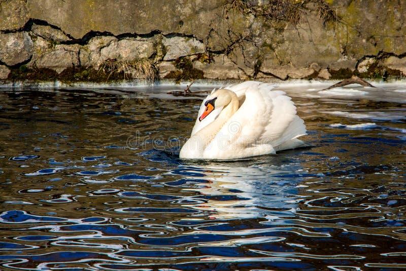 Il cigno bianco sull'acqua scura, lontano ghiaccia, spring_ in anticipo fotografia stock libera da diritti