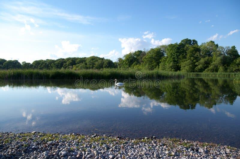 Il cigno nell'acqua calma con uno specchio perfetto gradisce la riflessione delle nuvole, del cielo e degli alberi fotografie stock