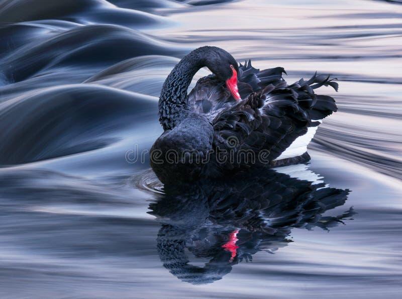Il cigno nero fotografia stock