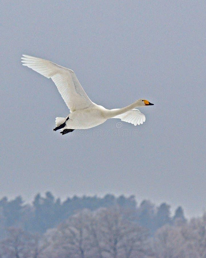 Il cigno selvatico, volo del cygnus del Cygnus fotografia stock libera da diritti