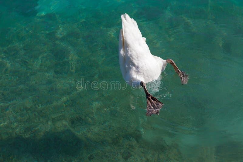 Il cigno si è tuffato nell'acqua fotografie stock libere da diritti
