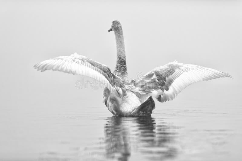 Il cigno spande le ali in bianco e nero fotografie stock