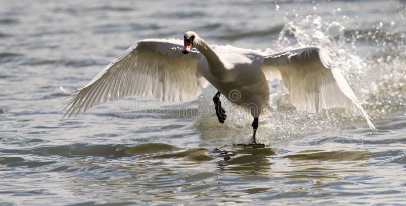Il cigno sta decollando dall'acqua fotografia stock