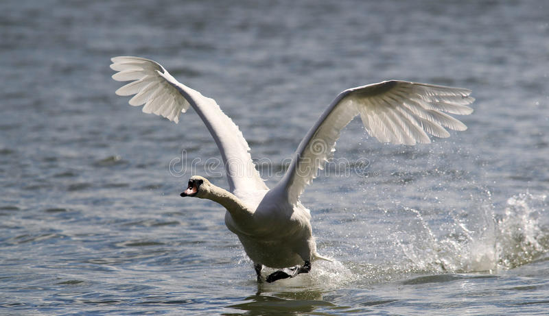 Il cigno sta decollando dall'acqua fotografia stock libera da diritti