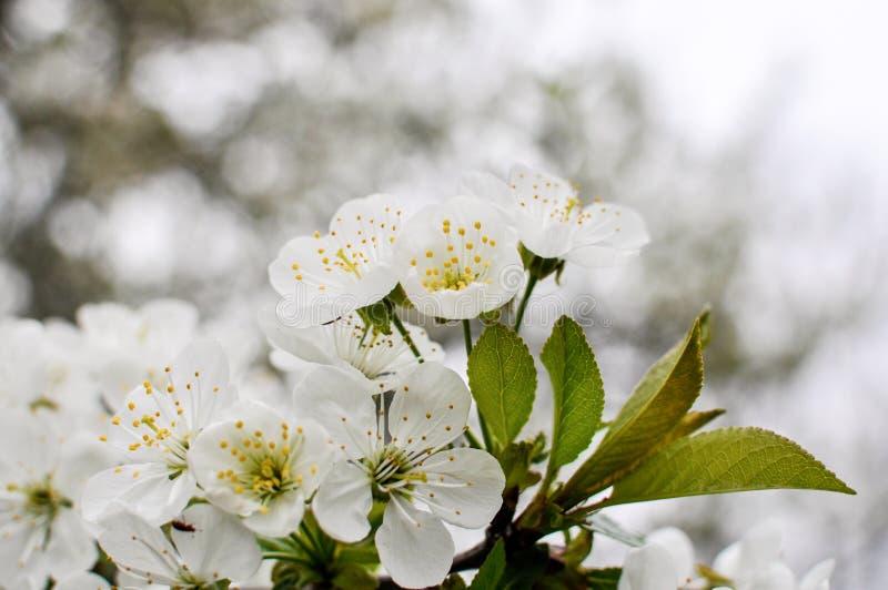 Il ciliegio bianco fiorisce mentre sboccia in un frutteto immagine stock