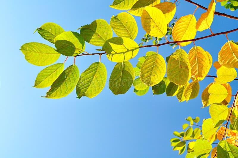 Il ciliegio Colourful dell'uccello si ramifica contro cielo blu luminoso - fondo naturale di autunno immagini stock libere da diritti