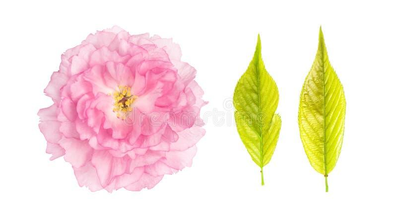 Il ciliegio di verde del fiore di Sakura lascia il fondo bianco isolato immagine stock libera da diritti
