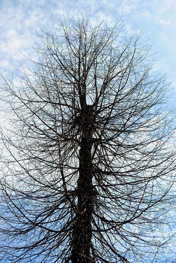 Il cilindro ha modellato la siluetta tagliata dell'albero, rami senza foglie, sul fondo nuvoloso blu del cielo della molla immagini stock
