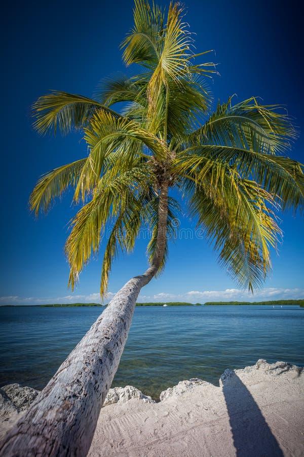 Il cocco iconico di Florida allunga fuori sopra l'acqua fotografie stock