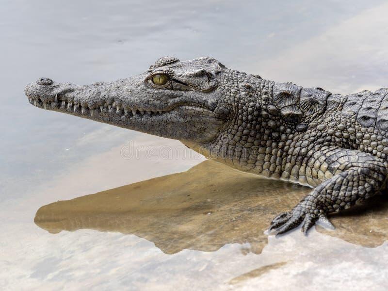 Il coccodrillo di Nilo, Crocodylus niloticus, è abbondante in alcuni laghi in Etiopia fotografia stock