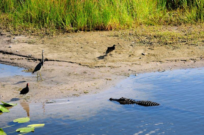 Il coccodrillo sceglie il suo pasto fotografia stock