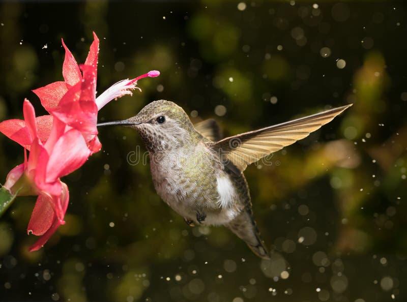 Il colibrì femminile visita il fiore nella tempesta della neve immagini stock libere da diritti