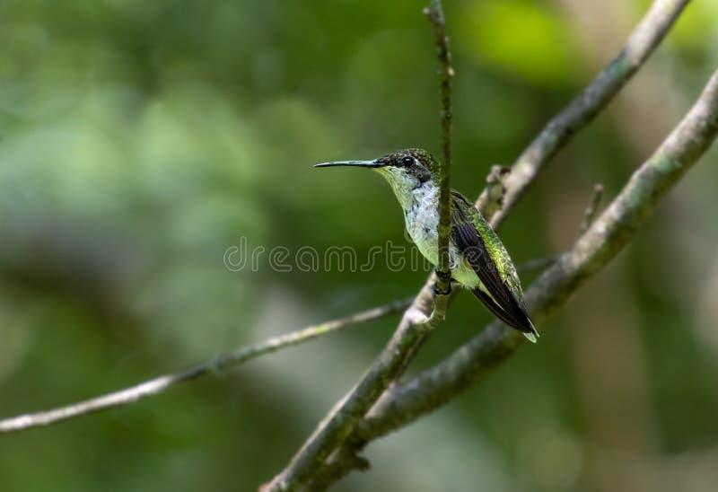 Il colibrì a riposo si è appollaiato su un ramo fotografia stock