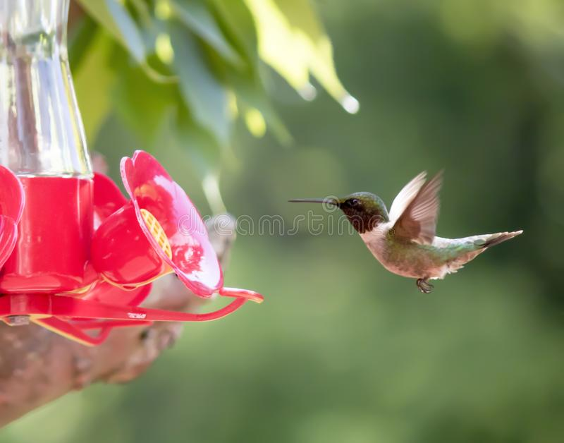 Il colibrì Rubino-Throated si avvicina all'alimentatore fotografia stock