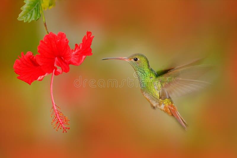 il colibrì Rufous-munito, il tzacatl di Amazilia, fling dell'uccello accanto al bello ibisco della rosa rossa fiorisce nell'habit fotografie stock