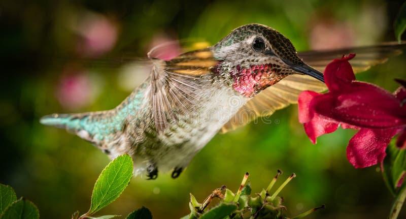Il colibrì visita il giardino variopinto fotografia stock