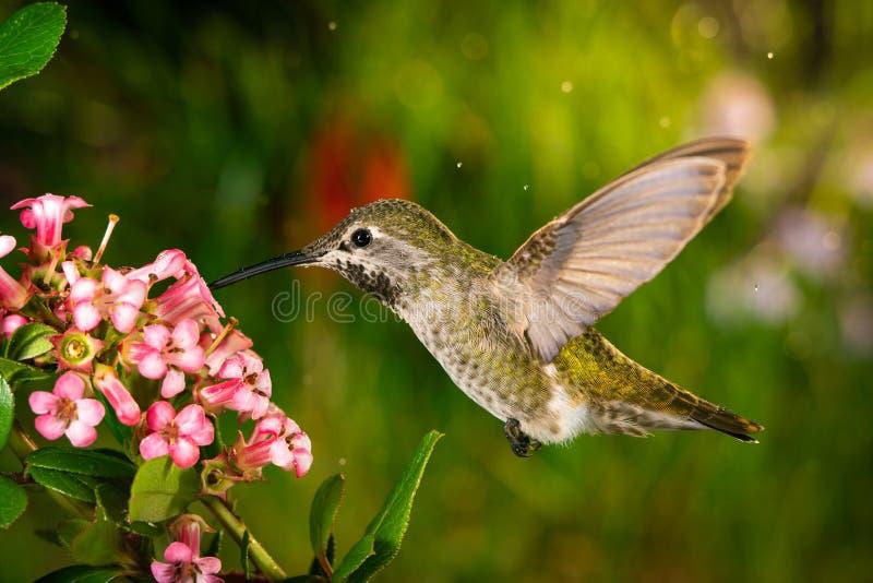 Il colibrì visita i fiori rosa fotografie stock libere da diritti