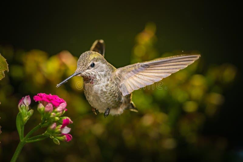 Il colibrì visita i fiori rosa immagine stock libera da diritti