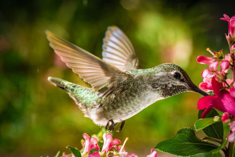Il colibrì visita i fiori rosa fotografia stock
