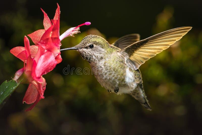 Il colibrì visita il suo fiore rosso favorito fotografia stock