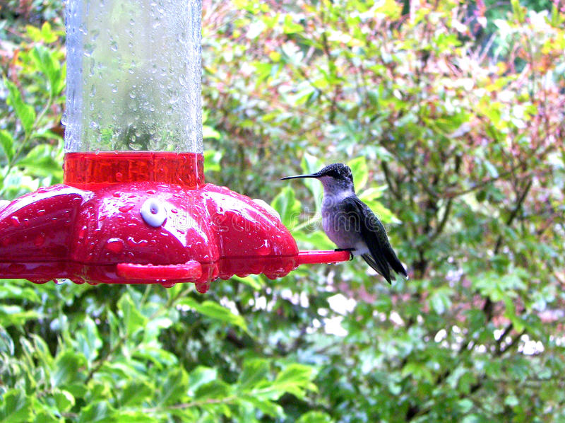 Il colibrì visita l'alimentatore immagini stock